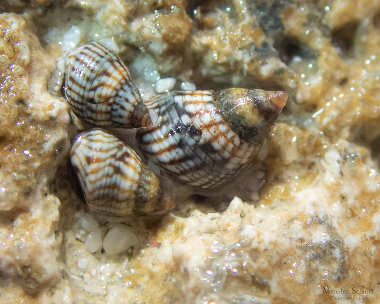 Interrupted Periwinkles