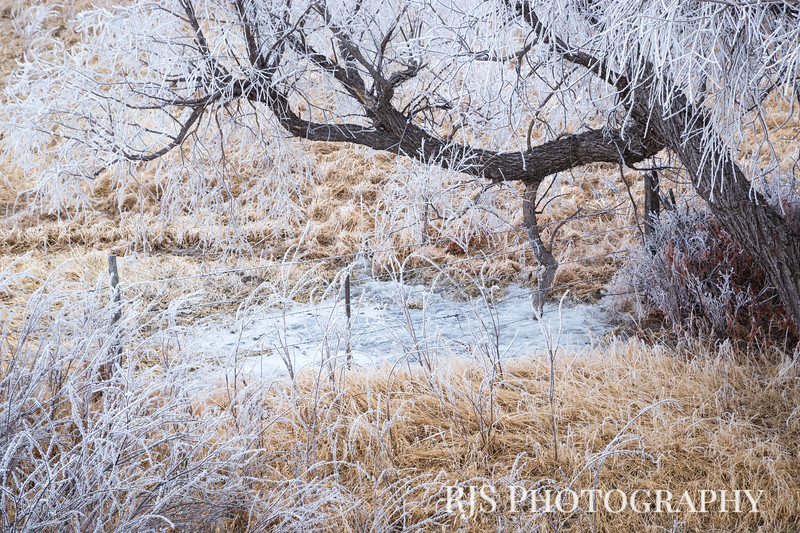 Cottonwood in Winter