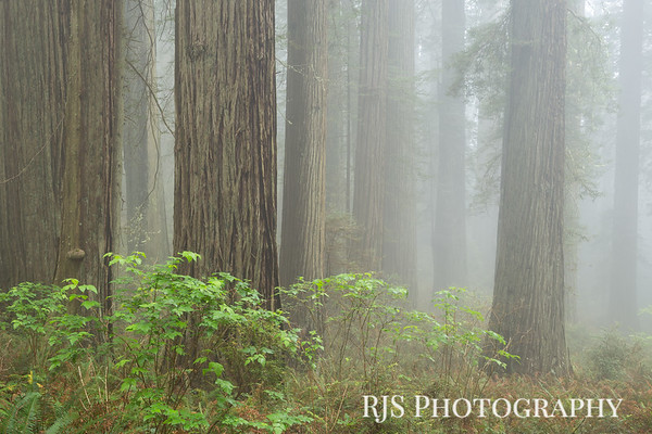 The Redwood Forest