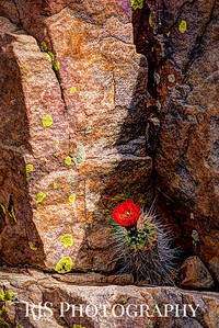 Claret Cup in the Canyon