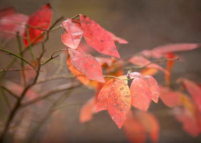 Red Leaves at Wells Estuarine Preserve