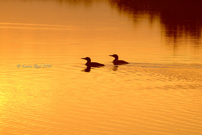 Sunset loons.