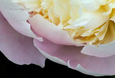 Domestic peony detail.