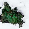 Ferns in Snow