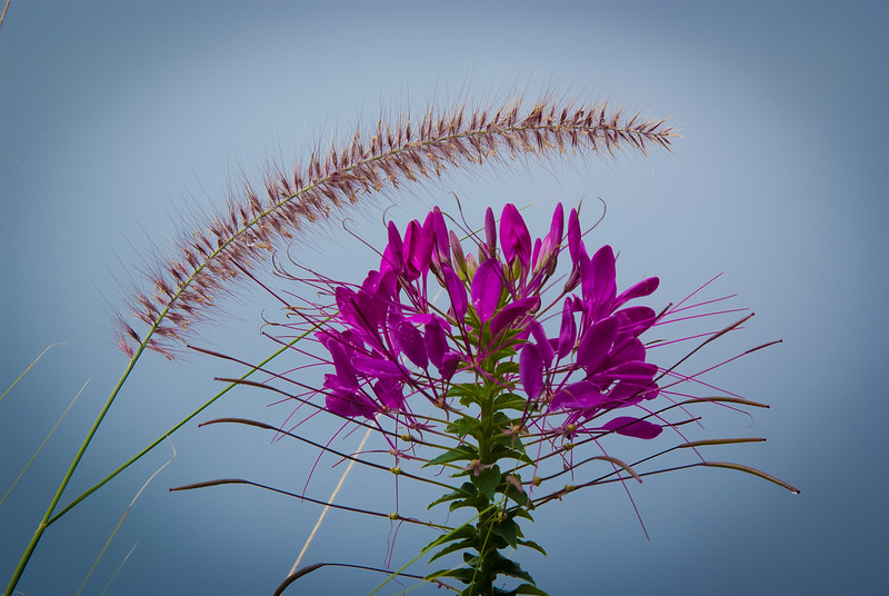 Ballet: by cleome and grass