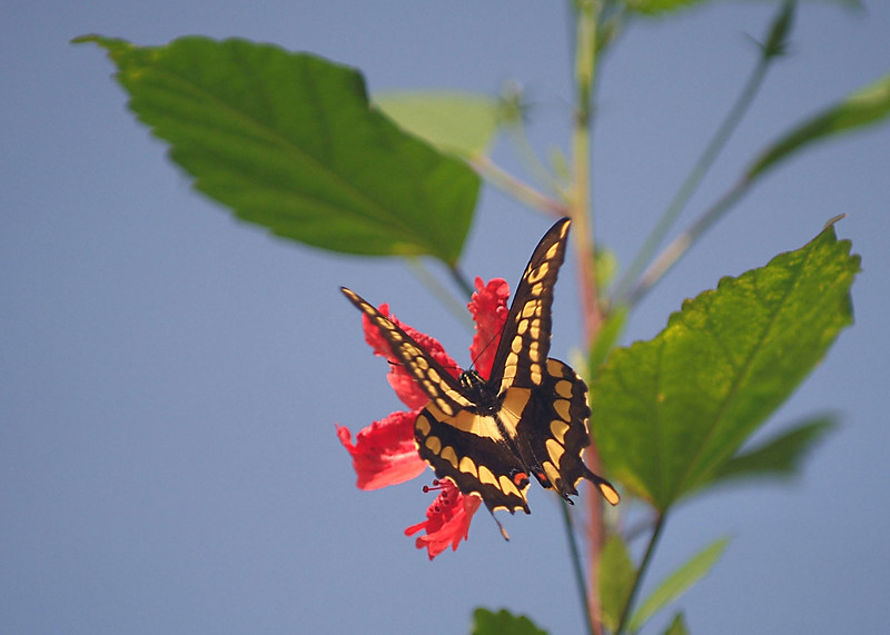 Tiger Swallowtail butterfly on red flower