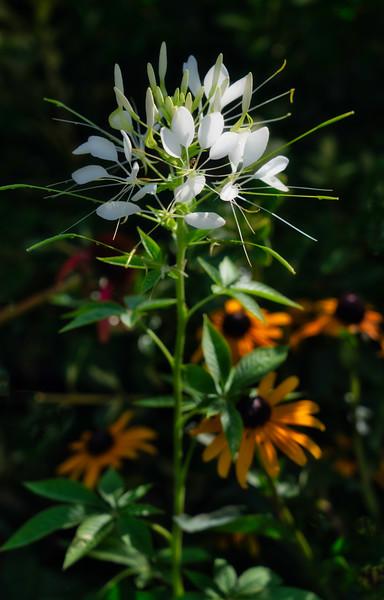 White Cleome in summer garden
