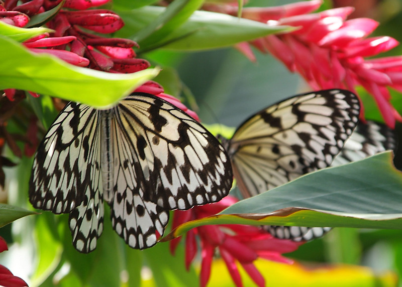 Two butterflies amid ginger