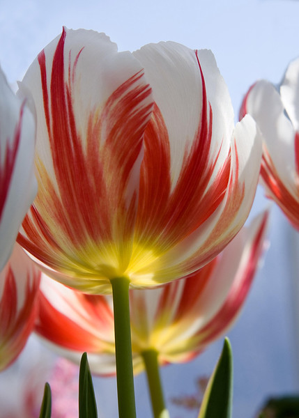 Red and white tulips with inner glow