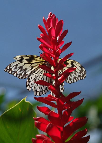 Paper kite butterfly on ginger