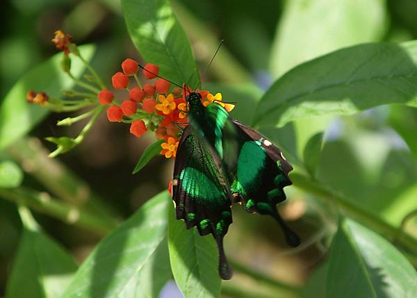 Emerald green butterfly on orange plant