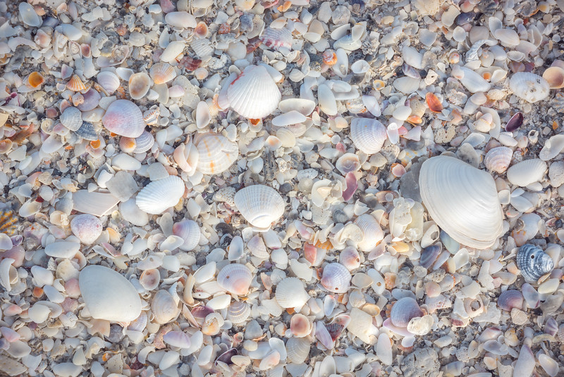 Scads of colorful seashells litter the shoreline along the beaches of Anna Maria Island, Florida.