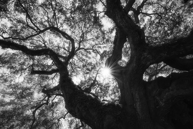 Looking up into the gnarled and twisted canopy of the iconic Angel Oak tree located just outside of Charleston, South Carolina.