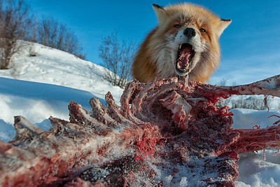 Red Fox feasting on a caribou carcass in the snow covered winter tundra of Northern, Canada. Near Dawson City and the Dempster Highway, Yukon. Barren Ground caribou near the Dempster Highway in Yukon, Canada.