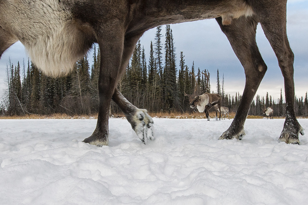 Porcupine Caribou caught by a camera trap during their winter migration in Northern, Yukon, Canada. Bull Caribou in the boreal forest.   The caribou calving grounds in Alaska's ANWR are threatened by potential oil and gas development.