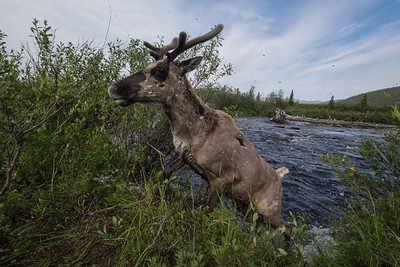 A cow caribou from the Forty Mile caribou herd jumps out of a river and up onto the bank during their migration from their calving grounds.  The forty mile caribou once stood at over 500,000 animals, but overhunting and development devasted that herd dropping the number to 5,000 animals in the 1970s. Through conservation efforts the herd is recovering and sits at around 50,000 animals.