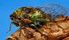 Cicada  (09_5434)