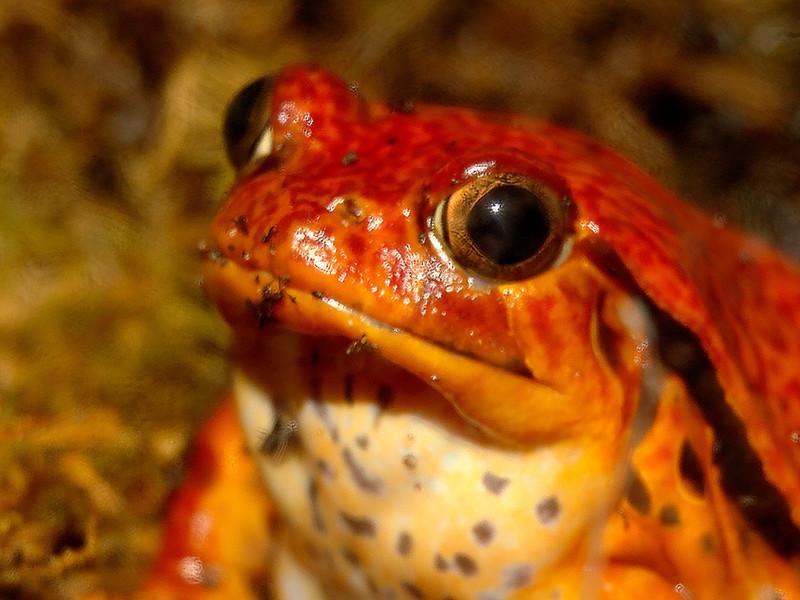 Orange Frog    (11_5006)