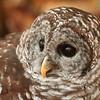 Glaring Owl   (10_3993)