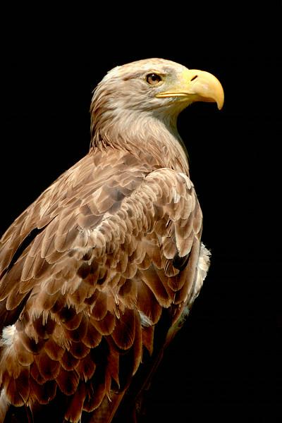 Proud Eagle   (06_0755)