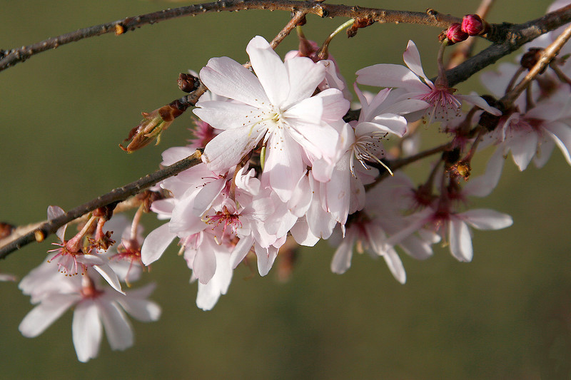 Cherry Blossoms on Green