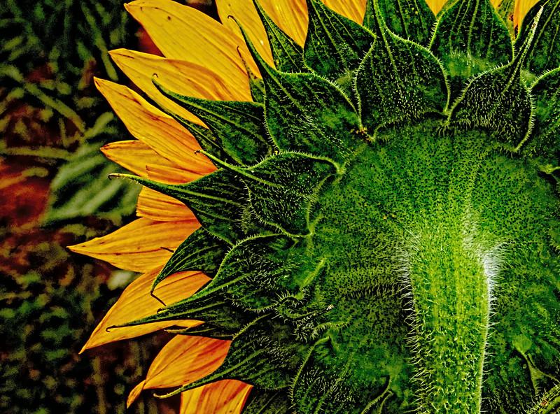 Back of Sunflower - Topaz