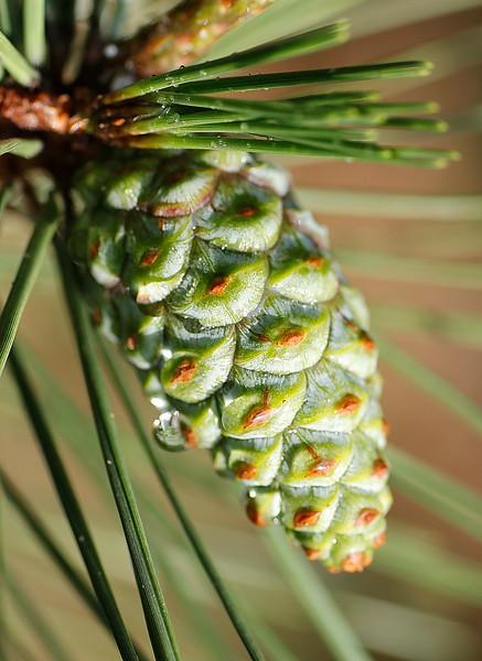 Pine Cone - Juvenile