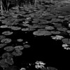 Lily Pads (5)