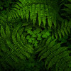 Funnel Fern