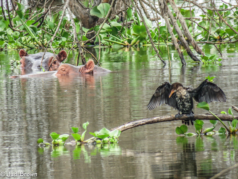 Cormorant & hippos co-exist in lagoon