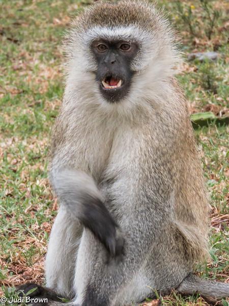 """Black-masked """"blueball"""" monkey"""