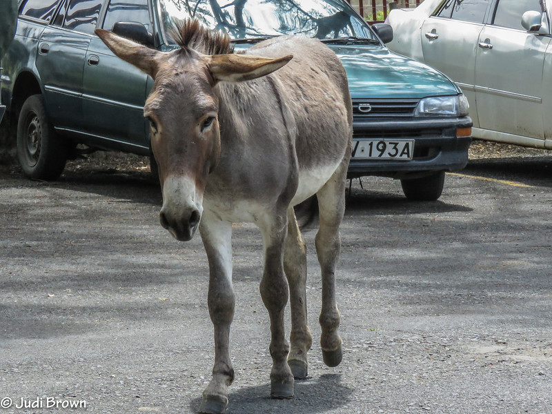 Parking patrol.  This donkey did not like tourists messing around his cars.