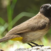 Common Bulbul (Black-eyed)