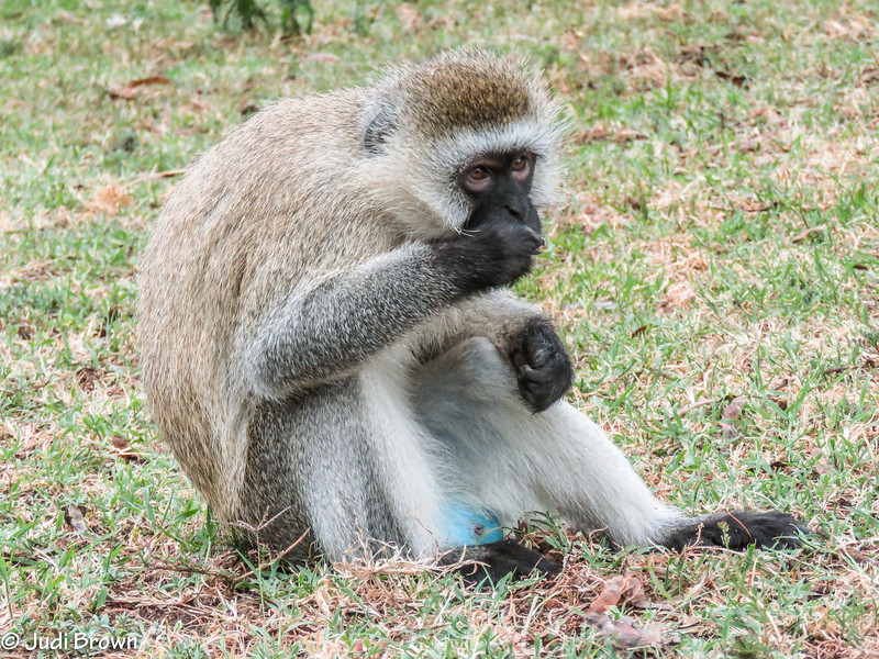 """This is why they're called the """"blueball"""" monkey"""