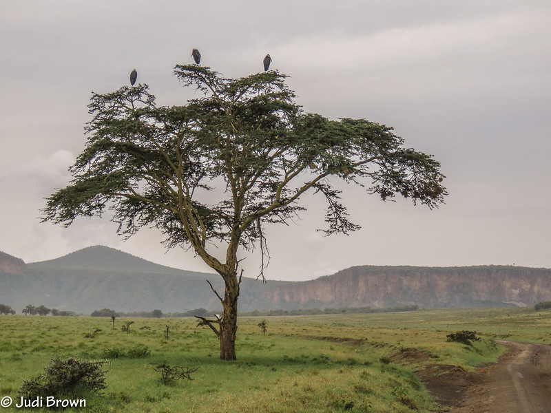 """Hell's Gate NP.  Marabou Storks (commonly referred to as """"the undertakers"""") in an acacia tree"""
