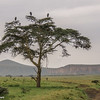 "Hell's Gate NP.  Marabou Storks (commonly referred to as ""the undertakers"") in an acacia tree"