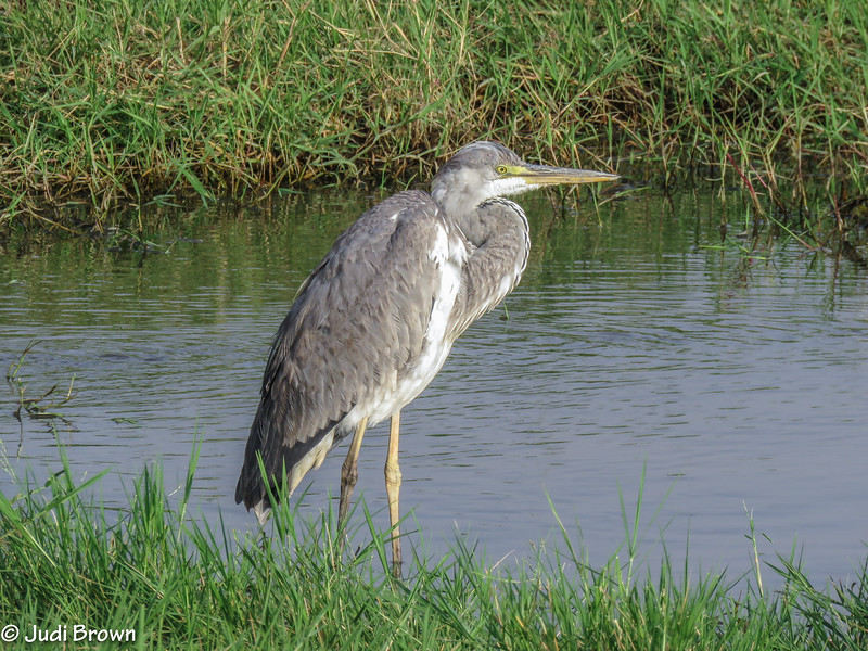 Grey Headed Heron