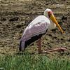 Yellow-billed stork in breeding plumage, resting