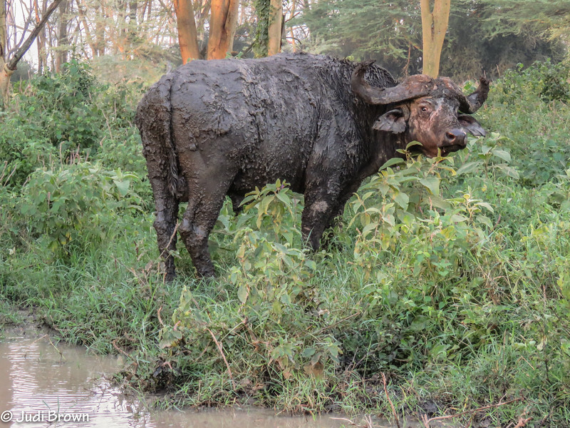 Cape Buffalo - mud bath specialist.