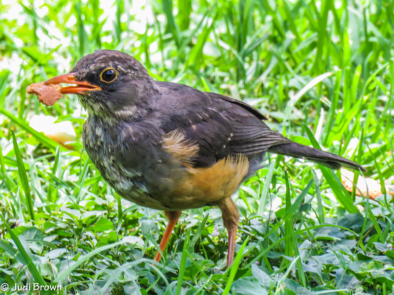 Northern Olive Thrush