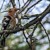 African Hoopoe.  These ground feeders probe the ground with their long bills.  Their distinctive black-tipped, fan-shaped crest is raised when alarmed.