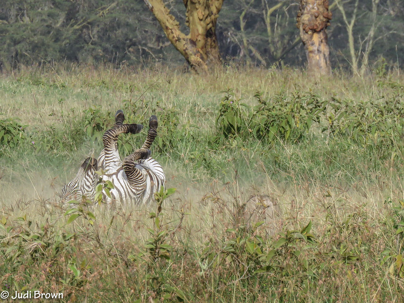 Common Zebra - sometimes you need to have a little fun.
