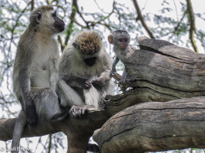 Black-masked monkey family