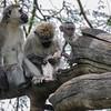 Black-masked monkey family