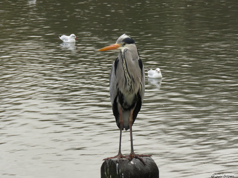 Hyde Park - heron