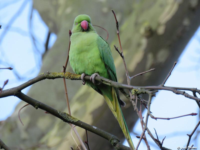 Green ring-necked parakeet, Hyde Park, London