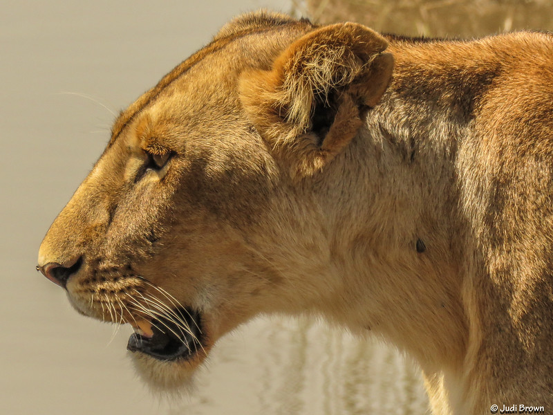 Most dead prey, on which both hyenas and lions feed, are killed by hyenas. The lionesses do most of the hunting for the pride. The male lion associated with the pride usually stays and watches over young cubs until the lionesses return from the hunt.