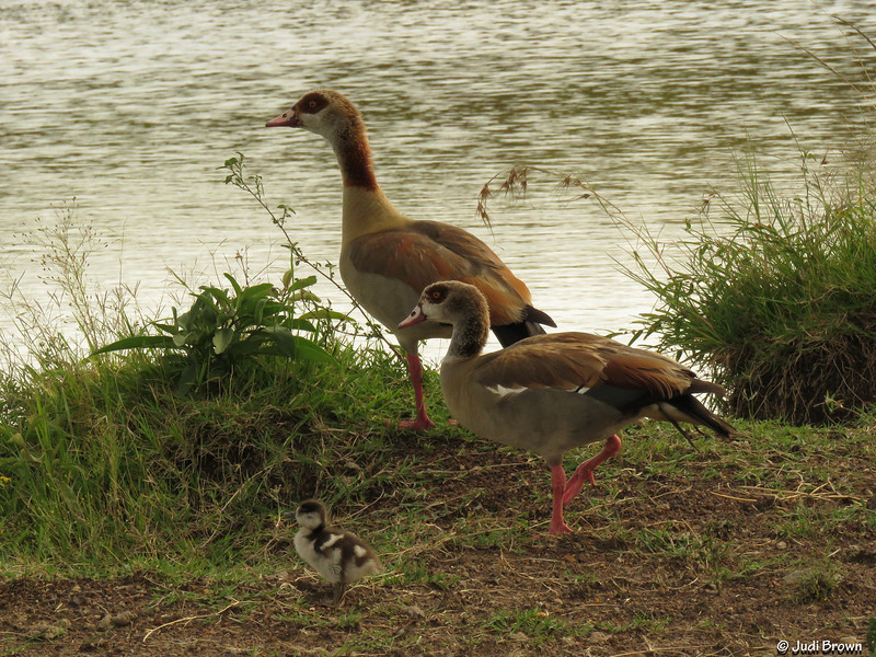 Egyptian geese with gosling