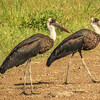 Wooly-necked stork