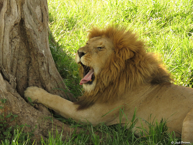 We woke this lion.  As soon as he finished yawning he showed us in no uncertain terms that he didn't like being disturbed.
